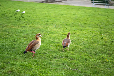 Ducks in the park in Rotterdam, Holland. Selective focus