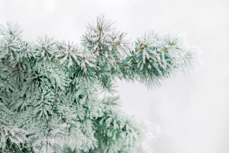 Christmas tree branches covered with hoarfrost crystals. Selective focus