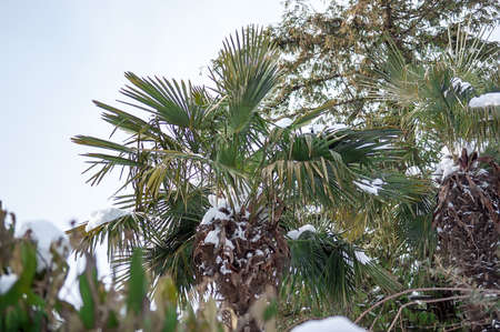 Tropical palm covered by snow, cold weather concept. Selective Focus.