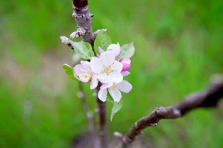 Blooming apple branch at spring garden. Selective focus Reklamní fotografie