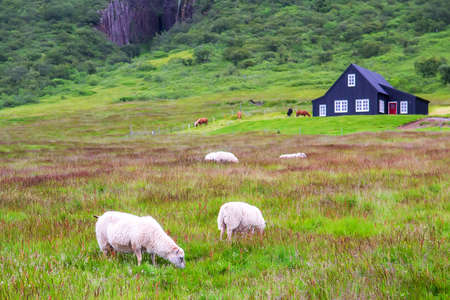 Iceland landscape, sheep grazing on green grass with old country house at background