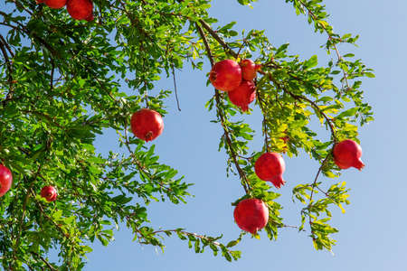 Pomegranate tree variety Red fruit hanging happily from its branch
