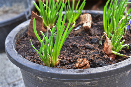 growing red shallot bulbs into a pot at home, sprouting green shallot, starting new life, concept idea. Stock Photo