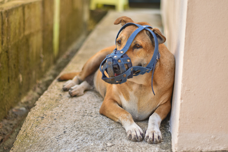 kampfhund: Dog with an old blue muzzle is lying on concrete floor at home