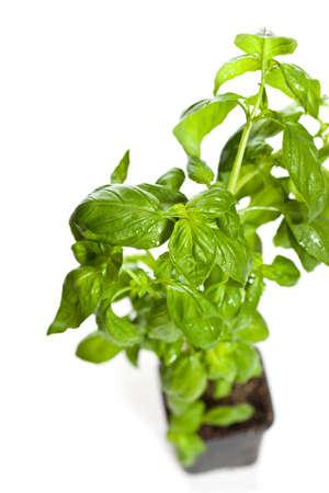 Growing green basil plants in pot photo
