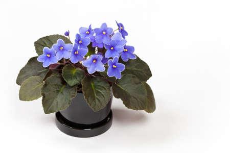 セレクティブ フォーカスを背景の白に紫色のアフリカ バイオレット