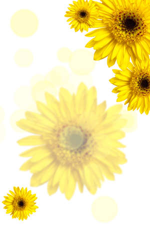 african daisy: African Daisy. Yellow gerber with bokeh background