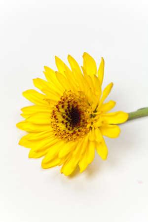 African Daisy. Yellow gerbera