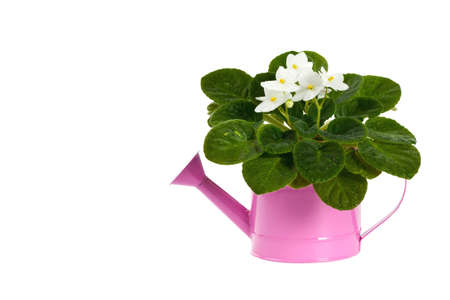violets: White African Violets in the Watering Can Isolated over white background. Selective focus.