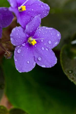 violets: Purple African Violets Flowers Macro. Selective focus.