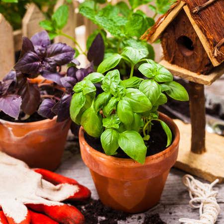 Basil. Sweet Basil in Flower Pot. Selective focus. Stock Photo