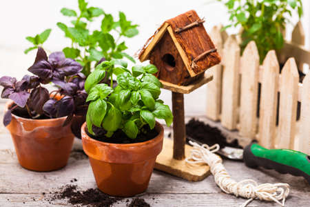 Spring Gardening Background with Growing Green Basil Herb Plants in Pot. Selective focus.