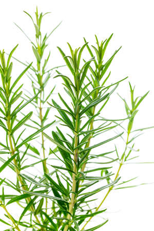 Rosemary or Rosmarinus Herbs Plants Isolated on white background. Selective focus. 写真素材 - 129531782