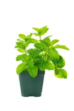 Mint Growing Herbs Plants Isolated on white background. Selective focus. 写真素材 - 129531791