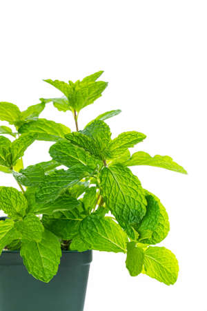 Mint Growing Herbs Plants Isolated on white background. Selective focus. 写真素材 - 129531789