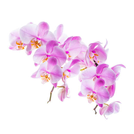 Orchid Flowers Isolated on White Background with Copy Space. Selective focus. Stock Photo - 132112649