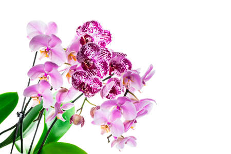 Orchid Flowers Isolated on White Background with Copy Space. Selective focus. Stock Photo - 132112656
