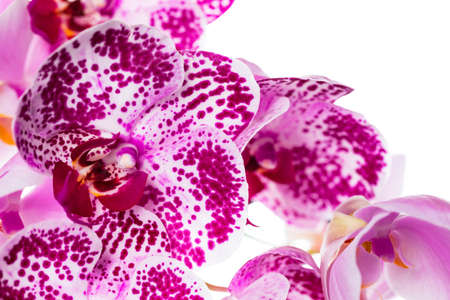 Orchid Flowers Isolated on White Background with Copy Space. Selective focus. Stock Photo - 132112658