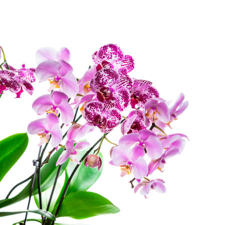 Orchid Flowers Isolated on White Background with Copy Space. Selective focus. Stock Photo - 132112661