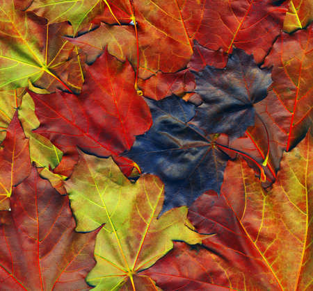 high quality: Background made of red maple leaves, high quality picture