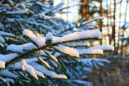 twiggy:  Pine tree branches covered with snowfrost