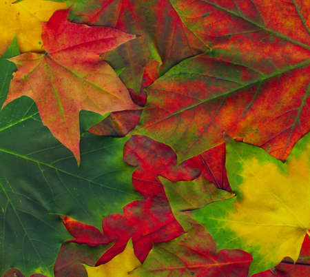 contrasting: Beautiful autumn maple leaves background