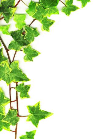 vid: Frontera hecha de hiedra verde sobre fondo blanco Foto de archivo