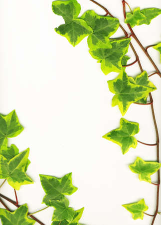greenness:  Border made of Green ivy isolated on white background Stock Photo