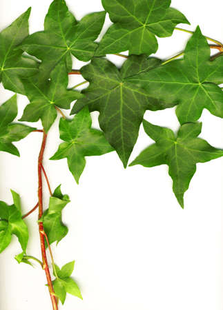 ivy wall: botanical, green border made of ivy leaves isolated on a white background Stock Photo