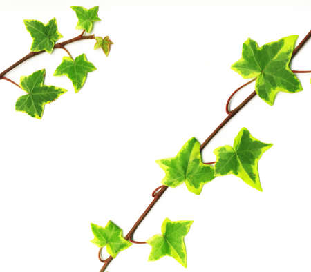 Border made of Green ivy isolated on white background photo