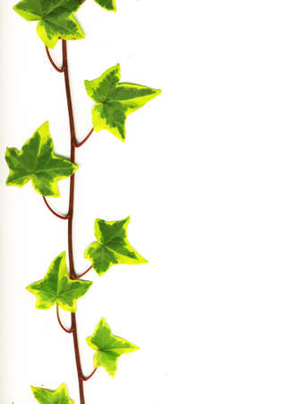 ivy wall: Border made of green ivy isolated on white background