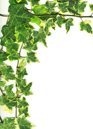 botanical, green border made of ivy leaves isolated on a white background photo