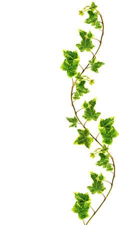 bladeren: Border gemaakt van groene klimop op een witte achtergrond