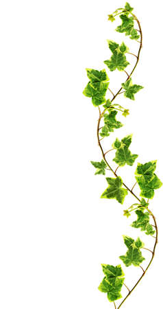 vine leaf:  Border made of Green ivy isolated on white background Stock Photo
