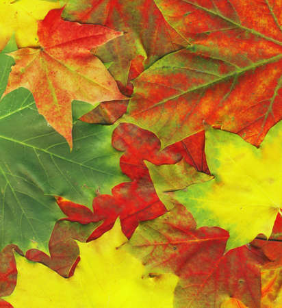 Background made of red maple leaves, high quality picture photo