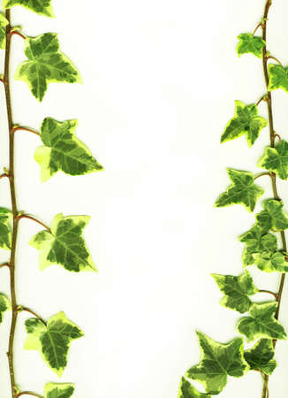 greenness: Border made of Green ivy isolated on white background