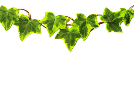 ivy wall: Green ivy isolated on white background