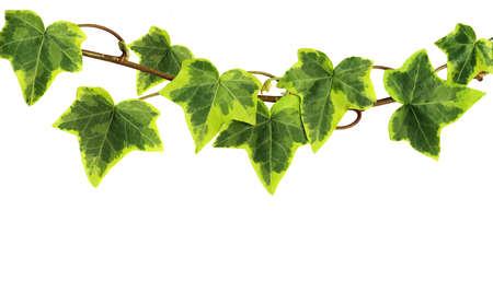 ivies: Edera verde isolato su sfondo bianco Archivio Fotografico