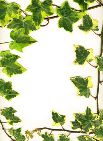 Frame made of Green ivy isolated on white background photo