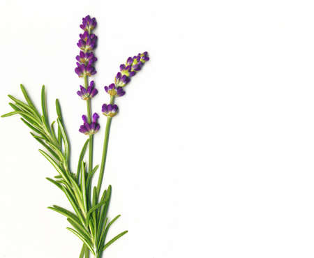 twig: Lavender and Rosemary isolated on white Stock Photo