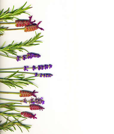 lavander: A border made of healing herbs (lavander and rosemary) on a white background isolated
