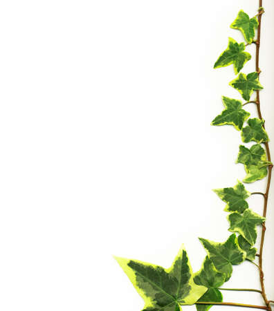 Border made of Green ivy isolated on white background Stock Photo - 11577240