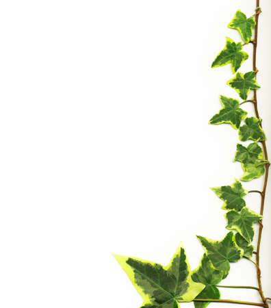 wall ivy: Frontera hecha de hiedra verde sobre fondo blanco Foto de archivo