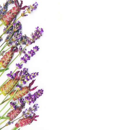 Organic herb border. Different types of English Lavander photo
