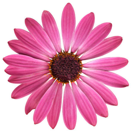 pink camomile with dark center photo