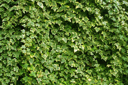 ivy wall: Abstract background of lush green ivy leaves