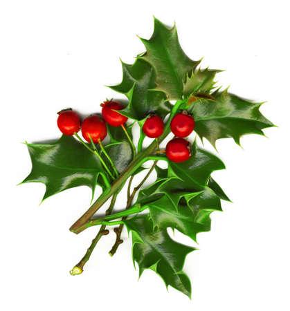 ilex aquifolium holly: a sprig of holly isolated on a white background