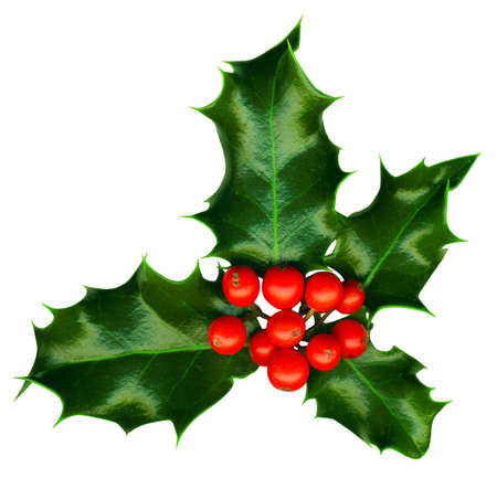 a sprig of holly isolated on a white background Stock Photo - 11586816