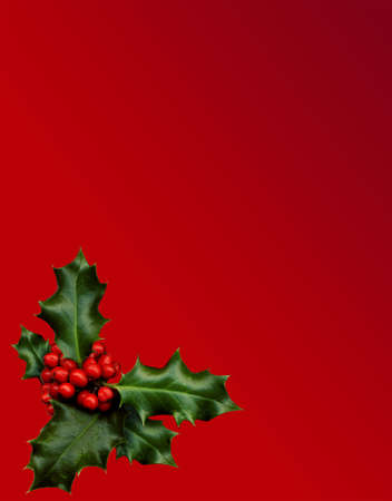a sprig of holly isolated on a red background photo