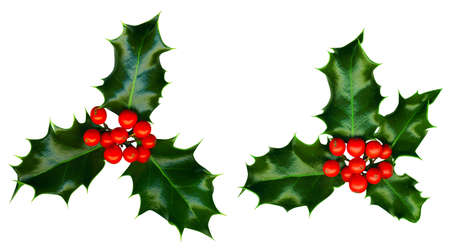 2 sprigs of holly isolated on a white background photo